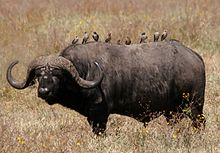 220px-African_buffalo_Syncerus_caffer_retouched.jpg